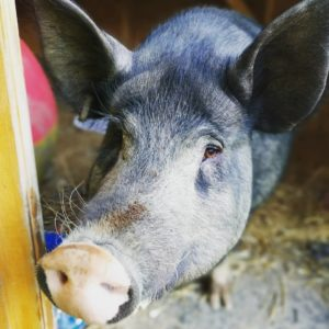 Sprout the Pig